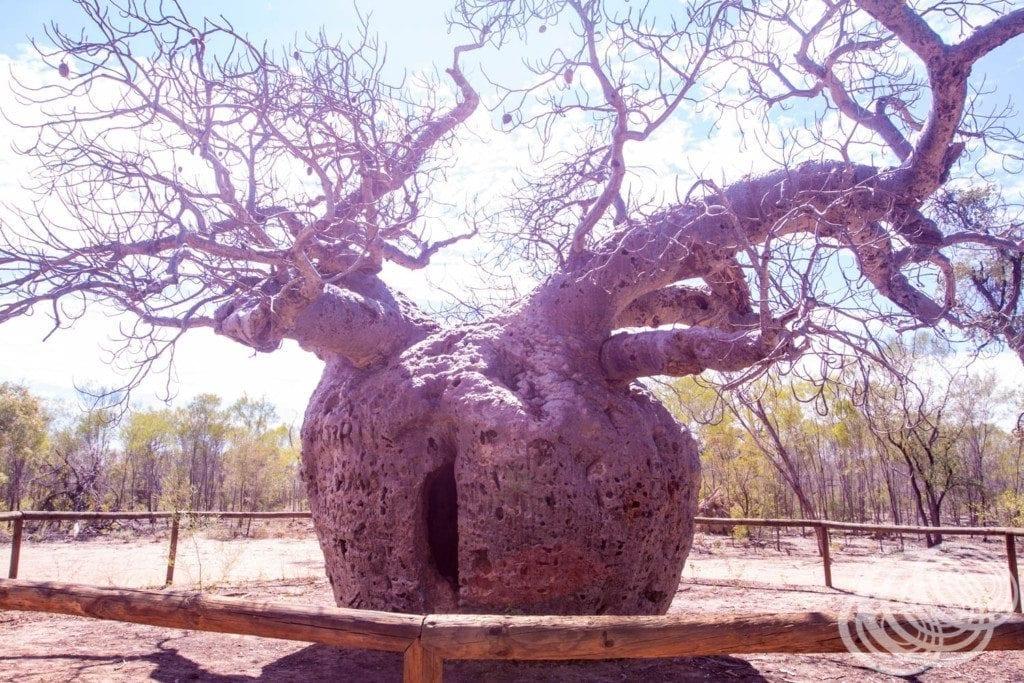 The Boab Prison Tree just outside Derby in Western Australia.
