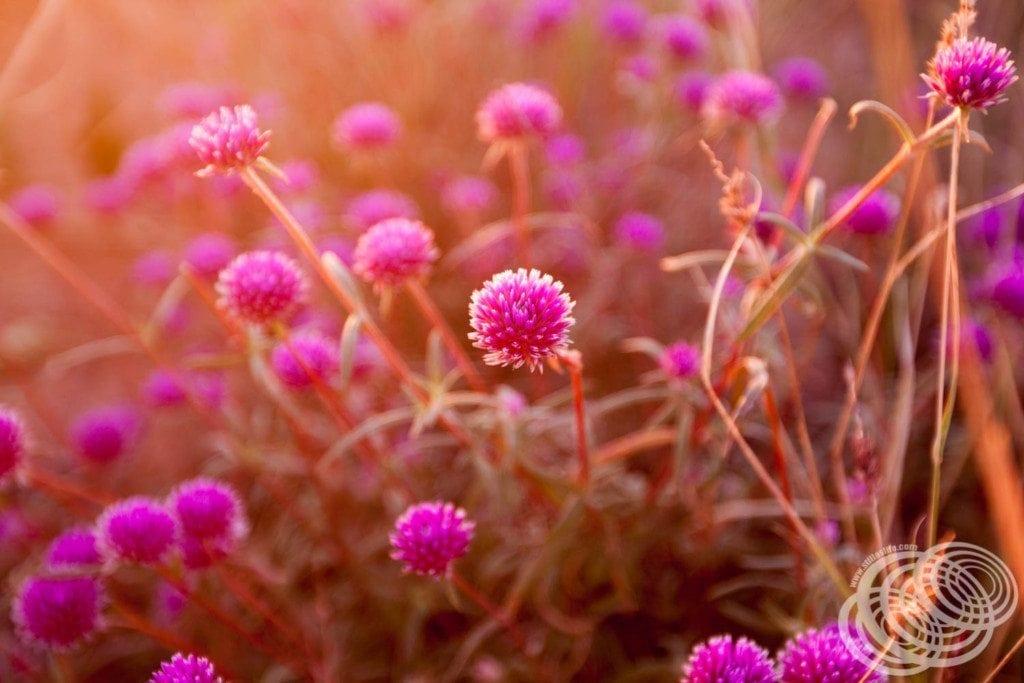 West Australian Wildflowers at Point Samson