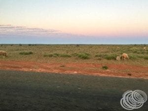 Lookout for sheep along the road near Learmonth
