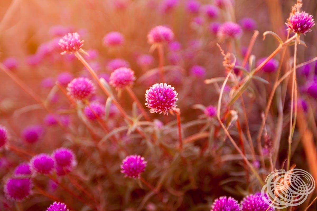 Wildflowers at Point Samson