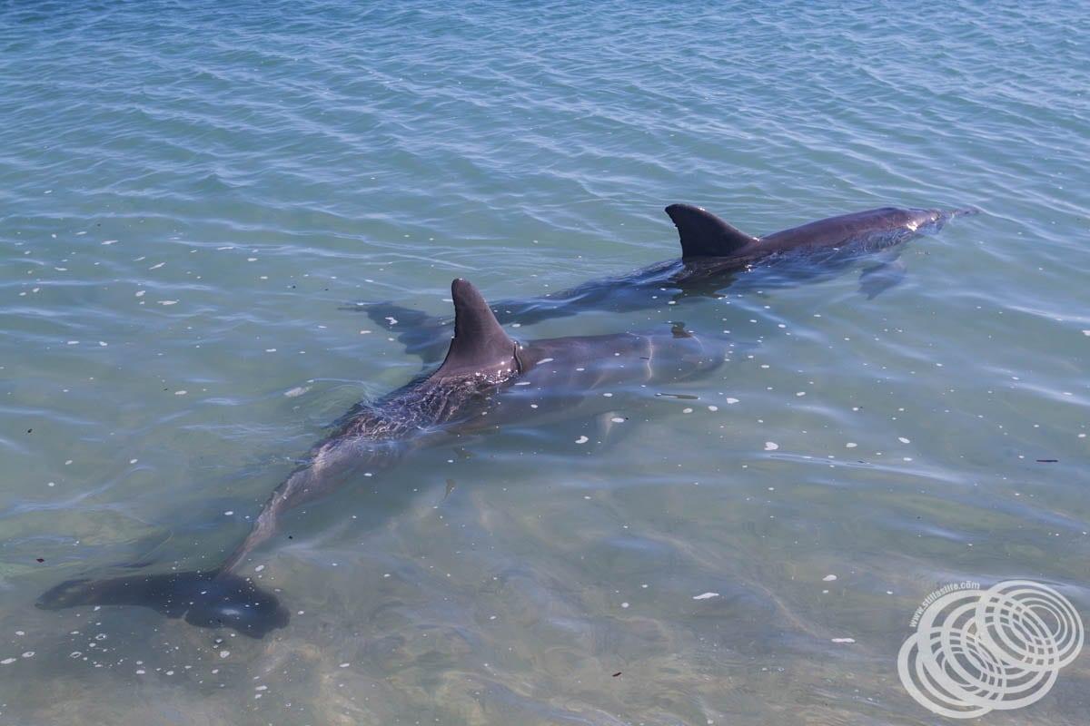 Two Dolphins at Monkey Mia