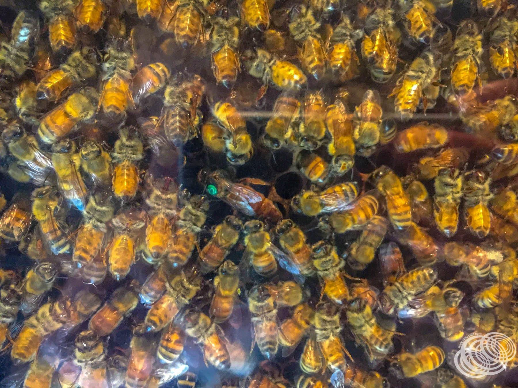 A Queen Bee at Arataki Honey